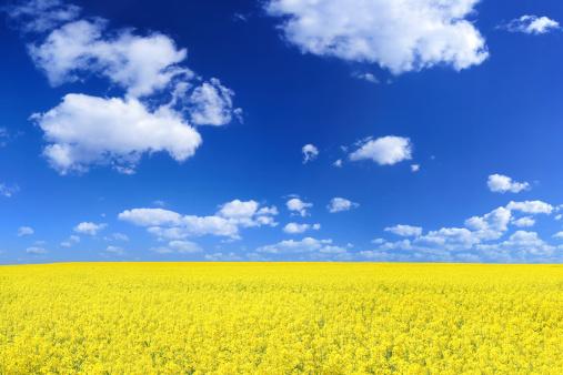 Cloud - Sky「Rape field」:スマホ壁紙(1)
