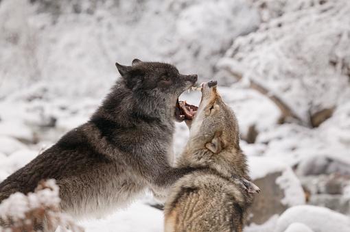 Animal Whisker「Wolves」:スマホ壁紙(8)