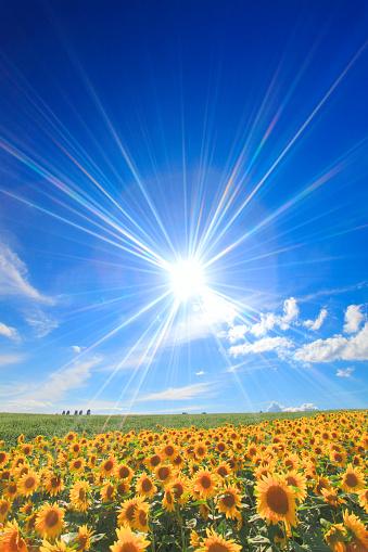 Hokkaido「Sunflower field under bright sunlight」:スマホ壁紙(18)