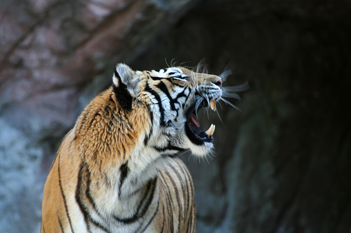 Animals In Captivity「Roaring tiger with motion blur 2」:スマホ壁紙(9)