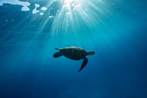 Sea Life「Turtle swimming underwater, Lady Elliot Island, Great Barrier Reef, Queensland, Australia」:スマホ壁紙(9)