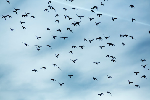 Flock Of Birds「Flock of doves (Columbidae) flying in front of cloudy sky」:スマホ壁紙(1)
