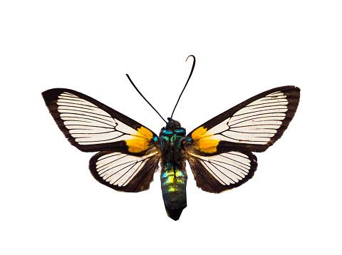 バイパス「Arctiidae on white ground」:スマホ壁紙(4)