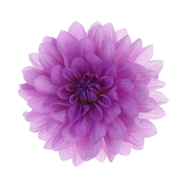 Dahlia 'Blue Boy' flower, on white square.:スマホ壁紙(壁紙.com)