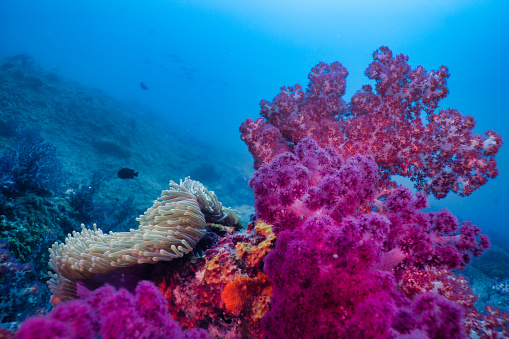 Soft Coral「Epic nature underwater Purple Alcyonarian coral and Magnificent Sea Anemone (Heteractis magnifica)」:スマホ壁紙(9)
