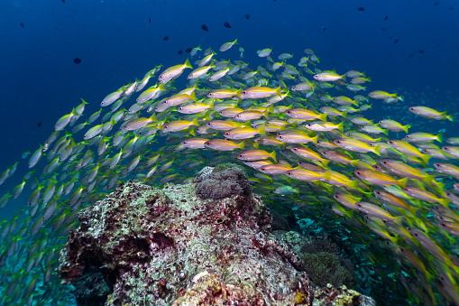 Ecosystem「Epic nature underwater school of Bigeye Snapper (Lutjanus lutjanus) fish」:スマホ壁紙(15)