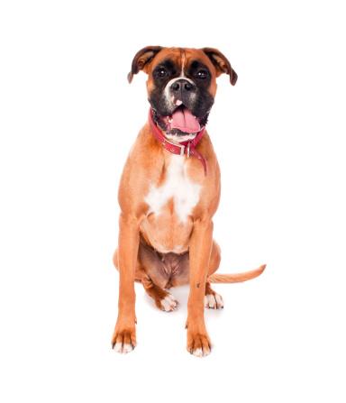 Boxer - Dog「Boxer Dog」:スマホ壁紙(8)