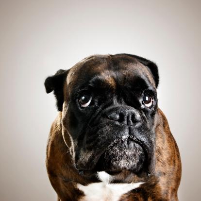Brown Hair「Boxer dog portrait」:スマホ壁紙(17)