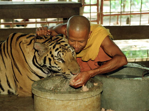 Big Cat「Tigers Raised by Monks in Thailand」:写真・画像(10)[壁紙.com]