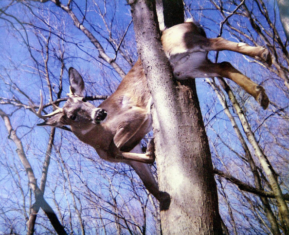Tree「Deer That Apparently Fell Off Of A Rock Bluff Then Became Trapped In A Tree And Eventu」:写真・画像(13)[壁紙.com]