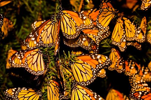 Indigenous Culture「Monarch butterfly (Danaus plexippus) migration」:スマホ壁紙(2)