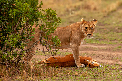 焦点「The side view of lioness (Panthera leo) standing beside impala kill and looking at camera」:スマホ壁紙(15)