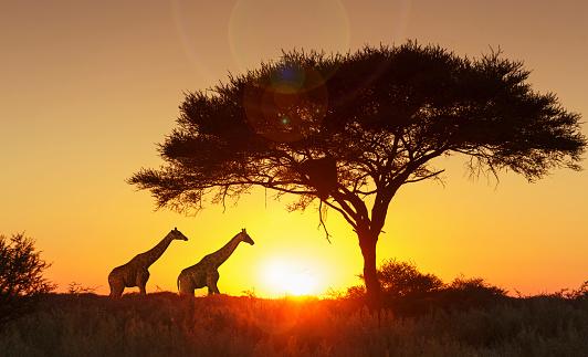 Walking「Giraffes under tree at sunset in Etosha National Park, Namibia」:スマホ壁紙(3)