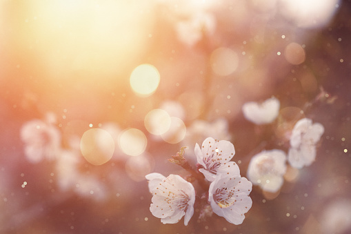 Rain「Spring blossom」:スマホ壁紙(4)
