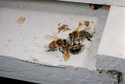 大昔の「Apis mellifera (honey bee) - workers removing a dead bee from the hive」:スマホ壁紙(10)
