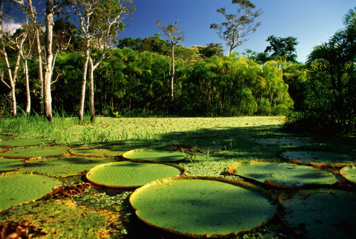 Amazon Rainforest「Brazil,Amazon,Giant Victoria Regia Lilypads」:スマホ壁紙(14)