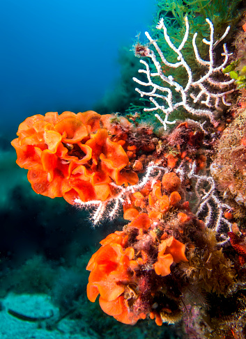 Soft Coral「orange and white gorgonia coral in costa brava. Spain」:スマホ壁紙(15)