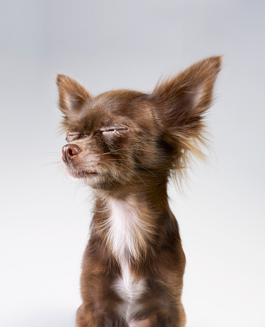 Sadness「Chihuahua crying」:スマホ壁紙(9)