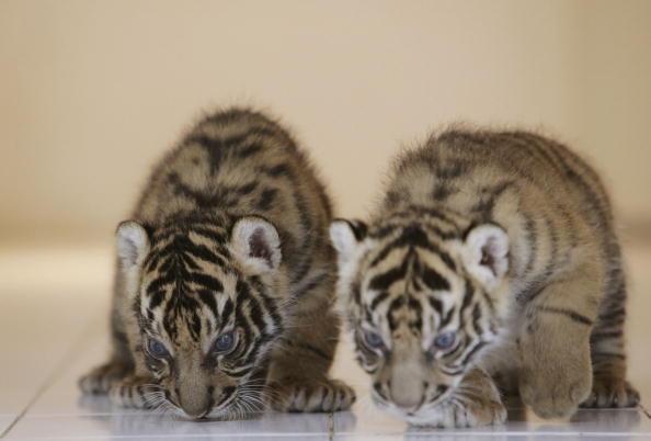 Regency Style「Endangered Sumatran Tiger Cubs Born In Indonesia」:写真・画像(19)[壁紙.com]