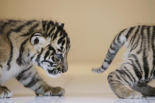 Regency Style「Endangered Sumatran Tiger Cubs Born In Indonesia」:写真・画像(17)[壁紙.com]