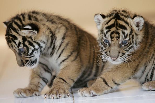 Regency Style「Endangered Sumatran Tiger Cubs Born In Indonesia」:写真・画像(15)[壁紙.com]