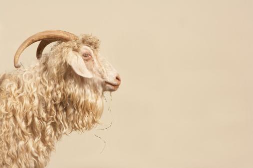 Horned「Angora goat, side view」:スマホ壁紙(4)