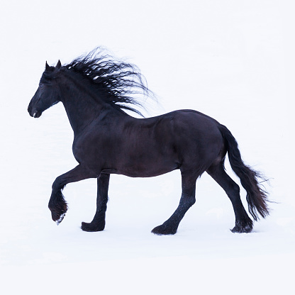 Horse「Frisian horse in winter」:スマホ壁紙(1)