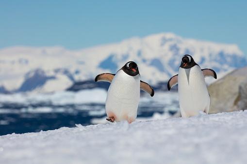 Walking「Two Gentoo penguins (Pygoscelis papua)」:スマホ壁紙(1)