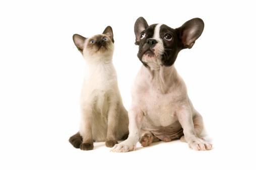 Shorthair Cat「two buddies」:スマホ壁紙(16)