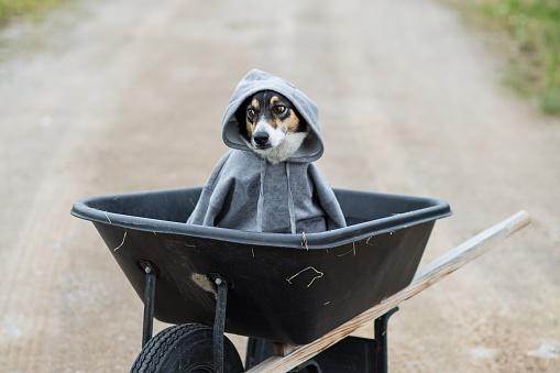Sweatshirt「Dog wearing a grey sweatshirt sitting in a wheelbarrow」:スマホ壁紙(5)