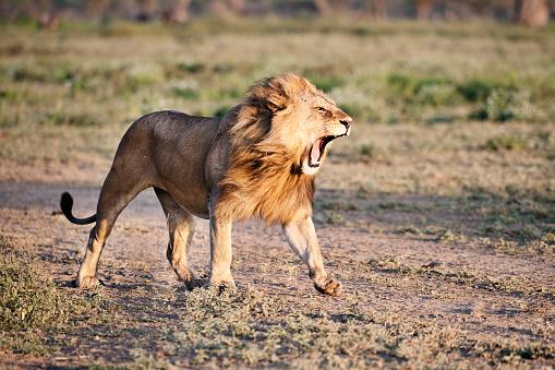 Animal Mane「Roaring lion in savannah」:スマホ壁紙(18)