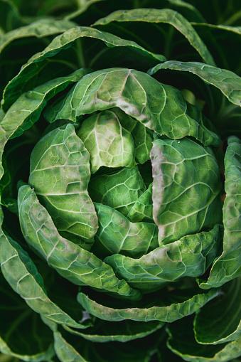 Planting「Cabbage」:スマホ壁紙(10)