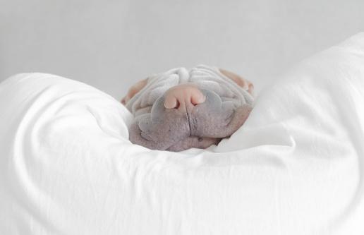 Animal Head「Shar pei dg taking a nap」:スマホ壁紙(11)