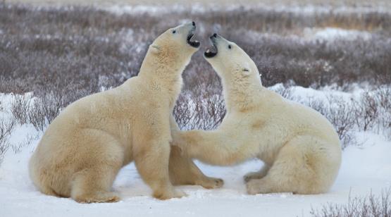 Polar Bear「Two polar bears (Ursus maritimus) play fighting, side view」:スマホ壁紙(16)