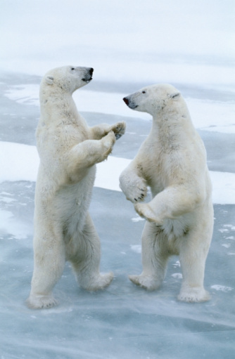 Polar Bear「Two polar bears (Ursus maritimus) standing on hind legs, playing」:スマホ壁紙(11)