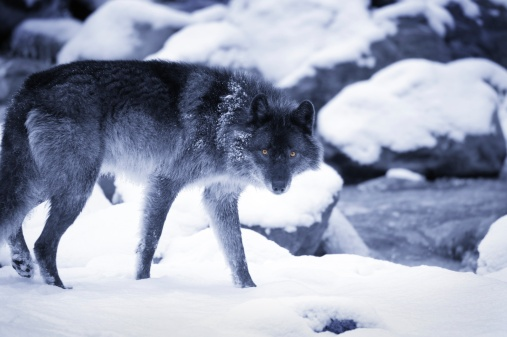 Animal Whisker「Wolf」:スマホ壁紙(4)
