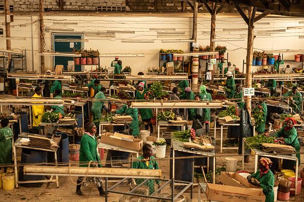 Kenya「Flower Farming In Kenya, World's Fourth-Largest Cut-Flower Exporter」:写真・画像(5)[壁紙.com]
