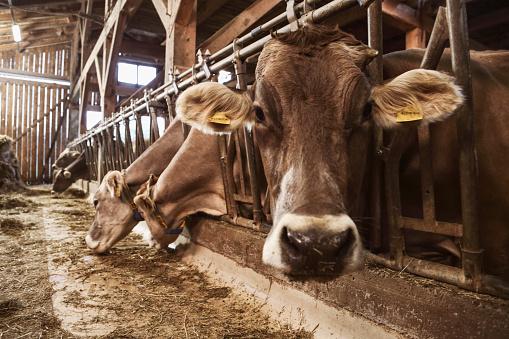 Agricultural Building「Livestock in a barn」:スマホ壁紙(11)