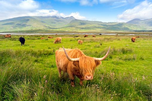 Horned「Highland Cattle roaming free on the Isle of Mull, Inner Hebrides, Scotland」:スマホ壁紙(5)