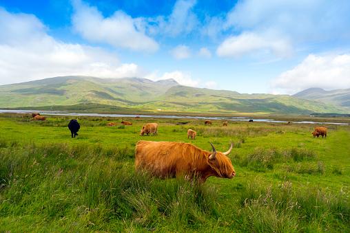 Horned「Highland Cattle roaming free on the Isle of Mull, Inner Hebrides, Scotland」:スマホ壁紙(11)