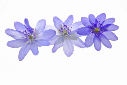 Wildflower「Beautiful anemone flowers - Hepatica Nobilis on white」:スマホ壁紙(13)