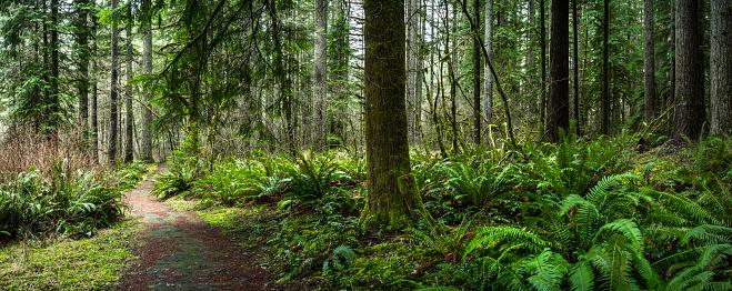 Glade「Douglas Fir Forest with Fern」:スマホ壁紙(18)
