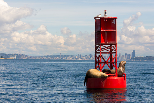 Sea Lion「California Sea Lions (Zalophus californianus) on channel marker, King County, Seattle, Puget Sound, Washington State, USA」:スマホ壁紙(13)