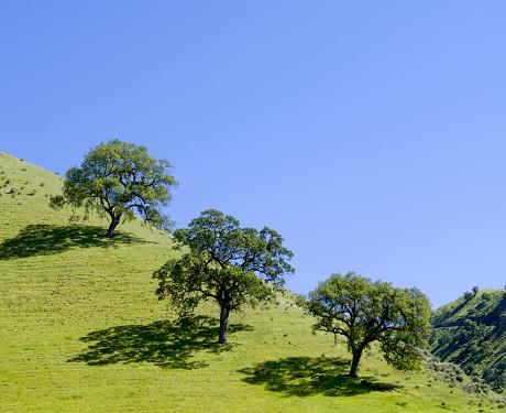 Oak Tree「California Oak trees in spring」:スマホ壁紙(19)