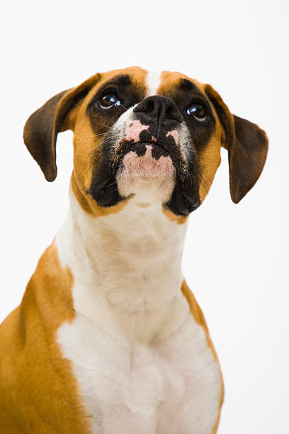 Boxer dog looking up:スマホ壁紙(壁紙.com)