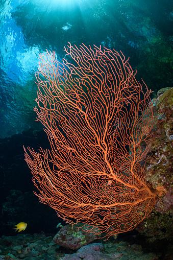 Soft Coral「Sea Fan Beneath Mangroves」:スマホ壁紙(17)