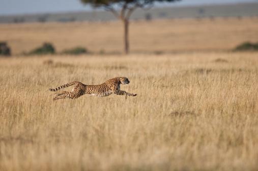 Running「Cheetah (Acinonyx Jubatus)  female at speed, Masai Mara, Kenya, Africa」:スマホ壁紙(0)