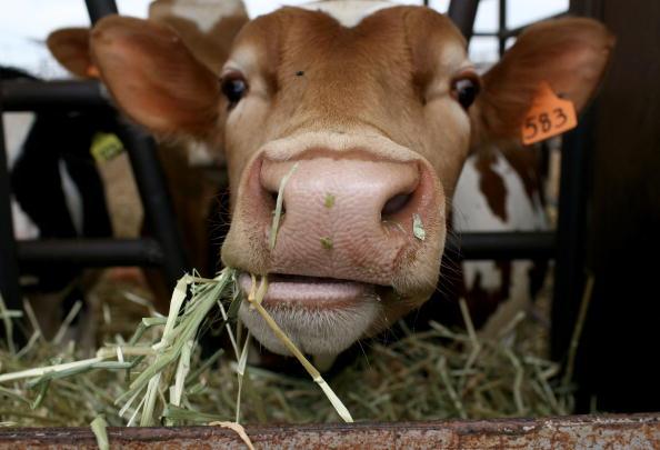 Cow「Plummeting Price Of Milk Leaves Dairy Farms Struggling For Profit」:写真・画像(2)[壁紙.com]