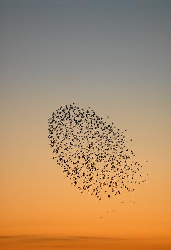 Flock Of Birds「Flock of starlings.」:スマホ壁紙(19)