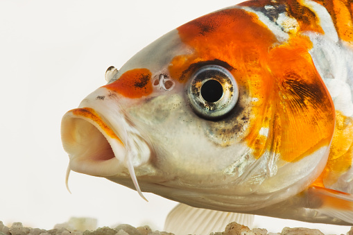 Koi Carp「Face of koi fish」:スマホ壁紙(17)